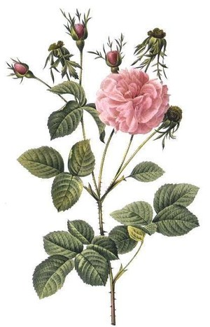 Rose_print6